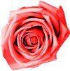 Rose2Pnk