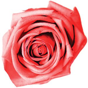Rose2Pnk Small