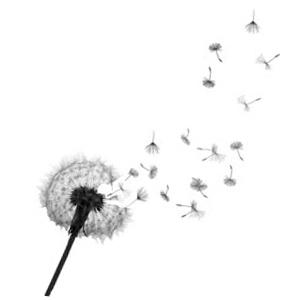 Dandelion & Seeds